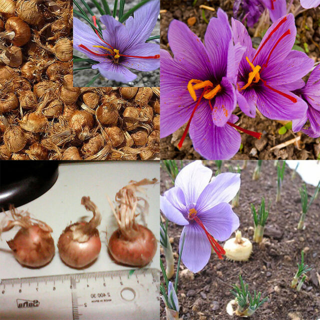 8pcs Rare Saffron Bulbs Crocus Sativus Ball Flower Seeds Outdoor