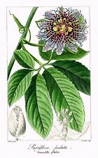 "Bessa's L'Herbier General - 1836 - ""PASSIFLORA PEDATA"" - Hand-Col'd Engraving"