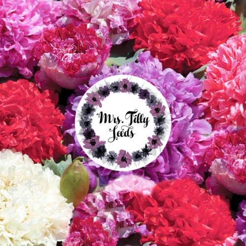 PEONY MIX gefüllte Blüten Rarität 100 Samen Papaver Paeoniflorum Mohn  Blume