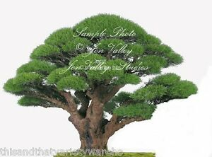 our casuarina tree summary Our casuarina tree is a poem published in 1881 by toru dutt, an indian poet summary the poem begins with the description of the tree.