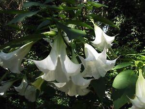 Brugmansia suaveolens white angel trumpet 10 seeds ebay image is loading brugmansia suaveolens white angel trumpet 10 seeds mightylinksfo