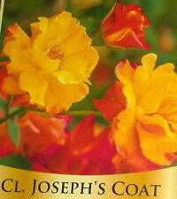 CLIMBING JOSEPHS COAT Rose Bush Flowers Live  plant shrub  RED ORANGE YELLOW