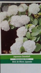 Image Is Loading Anese Snowball Tree Healthy Home Garden Plants Landscape