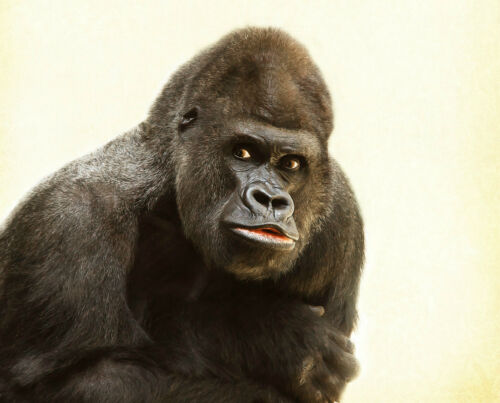 di ferro a T SHIRT trasferimento o adesivo Gorilla print scegliere foto stampa