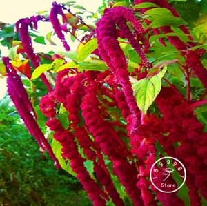 100 Pcs Seeds Blood Red Flowers Amaranthus Caudatus Plants Bonsai Garden NEW D H