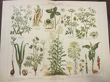 POISONOUS PLANTS I 1800'S GERMAN CHROMOLITHOGRAPH-CROCUS-CUCKOO PINT-ANEMONE
