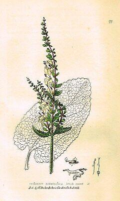 "Baxter's ""Botanical Gardens"" - ""WOOD SAGE"" - Hand Colored Eng. - 1833"