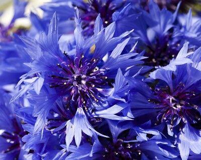 * Blaue Kornblume Samen, Centaurea Cyanus AusgewäHltes Material