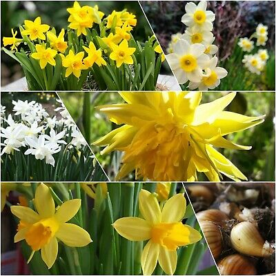 Daffodil Bulbs 10 Mixed Dwarf Narcissus