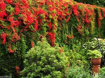 Scottish Flame Flowers(5 Seed)Tropaeolum speciosum -Flame Nasturtium,Rare vine !