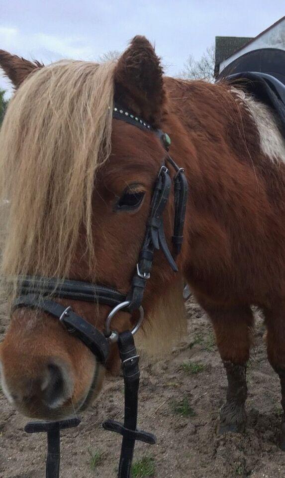 Shetlandspony, hoppe, 6 år