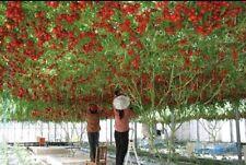 ITALIAN TREE TOMATO 'Trip L Crop'Rare Seeds-20 Seeds,Lowest Price,free shipping