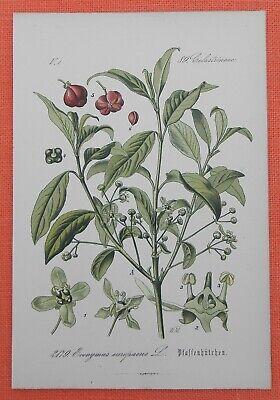 GemäßIgt Pfaffenhütchen Spindelstrauch Euonymus Europaeus Lithographie 1885
