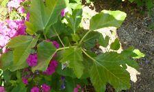 Fetifero / dall'Osso fig tree-5 cuttings- rare fig