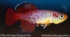 "(1) 1.25"" PAIR Guenther's Killi TR Nothobranchius guentheri Live Fresh Tropical"
