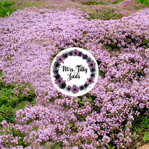 sand thyme 300 seeds sand thymian purple pachysandra evergreen multiannually ebay