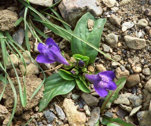 Lancea Tibetica Easy Alpine Perennial Rockery Ground-cover Plant in 9cm Pot