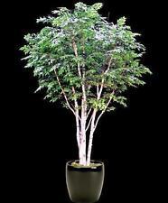 100 x papel de abedul de árbol de semillas. árbol de semillas que pueden utilizarse para Bonsai.
