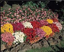 Chrysanthemum Autumn Glory Perennial Seeds