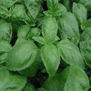 Basil-Seeds-5-000-Seeds-Italian-Large-Leaf-Basil