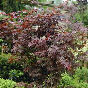 Japanese Maple Acer Palmatum Atropurpureum In A 3l Pot 50cm Tall