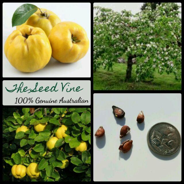 10 Quince Tree Seeds (cydonia Oblonga) RARE Exotic Edible ...