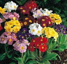 Pack Primula Polyanthus 'Pacific Giants' F1 Large Flowered Mix Flower Seeds