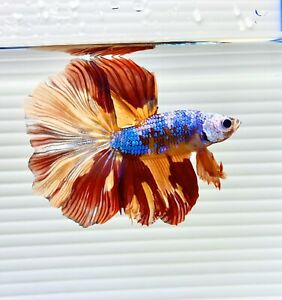 US SELLER (A-Grade) Male Fancy Dragon Halfmoon Betta imported from Thailand
