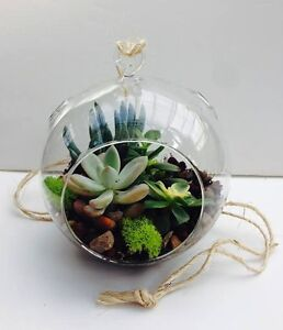 Details About Diy Hanging Succulent Terrarium Kit With Real Succulents Soil Rocks Moss And