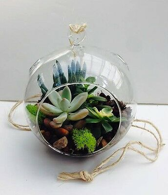 DIY hanging succulent terrarium kit with real succulents, soil, rocks, moss