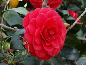 Red Camellia Plants Seeds Garden Rare Flowers Bonsai Rainbow Tree 100 Pcs