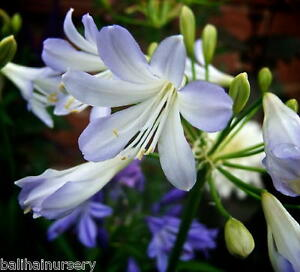 3 new agapanthus silver baby white flowers flushed blue garden image is loading 3 new agapanthus silver baby white flowers flushed mightylinksfo