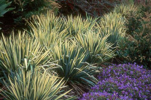 Yucca flacida Golden Sword AGM panachées hiver Evergreen Shrub cadeau de Noël Plante