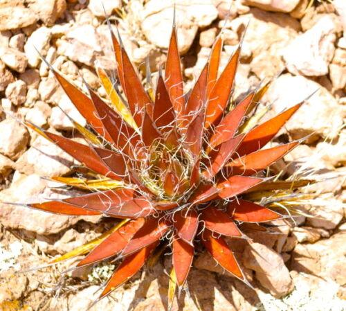 10 Agave Filifera Red Form From Valparaiso Zacatecas Kaktus Samen Samen No Orbea
