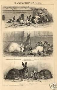 1883 CONIGLI Animali Antica Stampa Old ENGRAVING - Italia - 1883 CONIGLI Animali Antica Stampa Old ENGRAVING - Italia