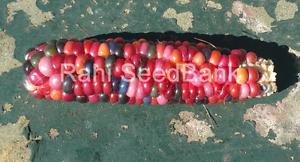 Corn-Glass-Gem-Inaya-A-Rare-Stunning-Multicoloured-Corn-Variety