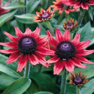 Cherry-Brandy-Rudbeckia-Seeds-50-Flower-Seeds-034-Perennial-034