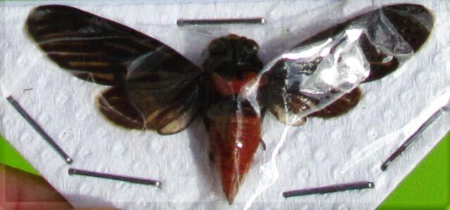 Lot of 10 Black & Scarlet Cicada Huechys sanguinea Spread FAST SHIP FROM USA