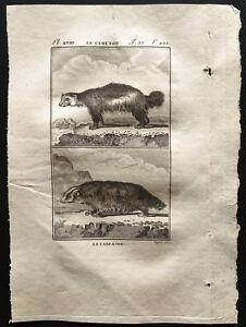 1799-Buffon-Le-glouton-le-Carcajou-Gravure-zoologie