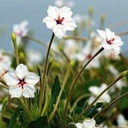 Mirabilis oblongifolia Velvet Umbrella 10 seeds
