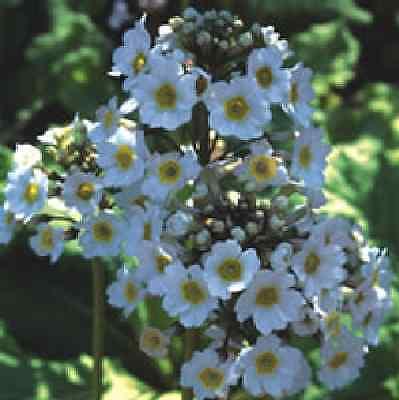 Flower - Primula Japonica - Postford White - 100 Seeds