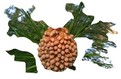 frosthart bis minus 9 Grad 15 Samen,15 seeds Pinus roxburghii