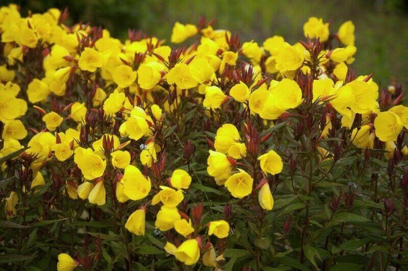 4 x PLUG PLANTS OENOTHERA 'Sundrops' Hardy Self-seeding Perennial
