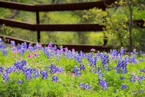 Texas-Bluebonnets-in-a-Fenced-Field-Pasture-Photo-Art-Print-Poster-24x36-inch