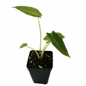Bac-Ha-Doc-Mung-Edible-Vietnamese-Taro-Thai-Eleplant-Ear-8-inches-Live-plant-USA