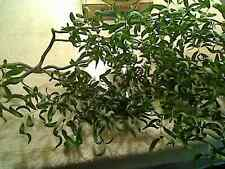 """1 Live Corkscrew Willow Tree Cutting. These are very easy to grow 24"""" Length"""