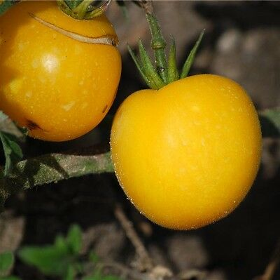 graines de tomate fantôme du Laos vendu en sachet de 30 graines procédé bio