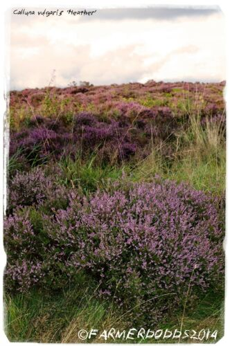 EX. Derbyshire, Angleterre Calluna vulgaris /'Heather/' 1000 Graines