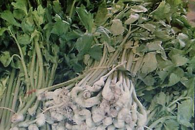10 Samen chinesische Sellerie,Apium graveolens#597
