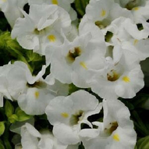 Torenia-Seeds-Kauai-White-Seeds-50-Pelleted-Seeds